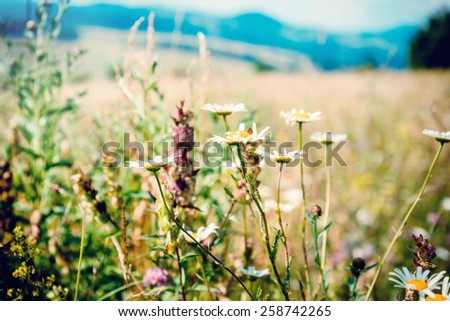 White  camomiles on the summer field in the mountains - stock photo