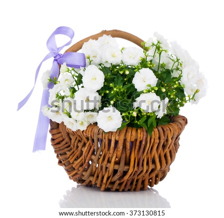 white Campanula terry flowers in the wicker basket, isolated on white background - stock photo