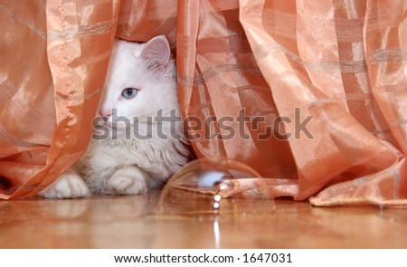 White cat behind the curtain