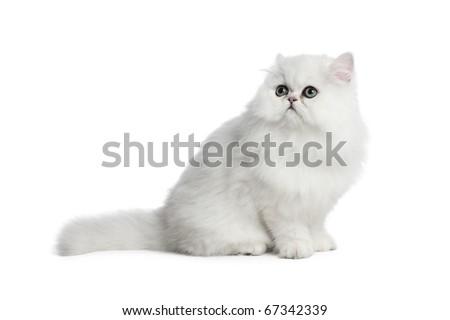 White cat Chinchilla on white background - stock photo