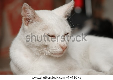 White cat close-up - stock photo