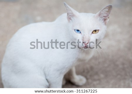 White Cat Eye Color Yellow and blue - stock photo