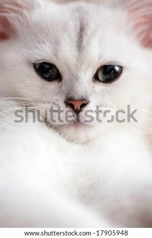 White cat face portrait, close-up. Shallow DOF, focus on eyes. - stock photo