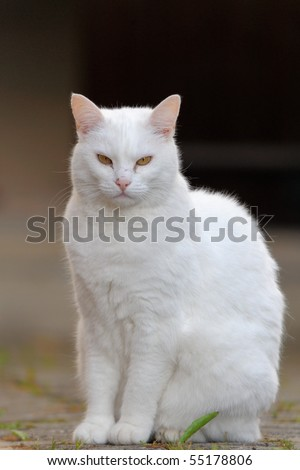 White Cat in the village on evening  - stock photo