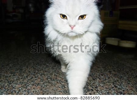 White cat is walking toward. chinchilla cat - stock photo