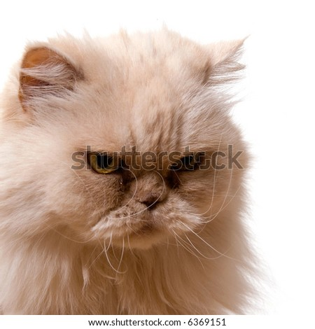 white cat, isolated on a white background