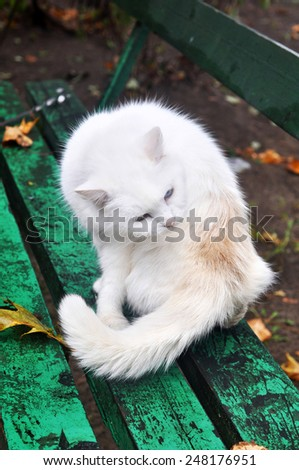 white cat licking his hair on the back on the bench - stock photo