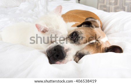 White Cat Loving  Boxer Mix Dog Sleeping Together on Bed