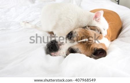 White Cat Loving  Boxer Mix Dog Sleeping Together on Bed - stock photo