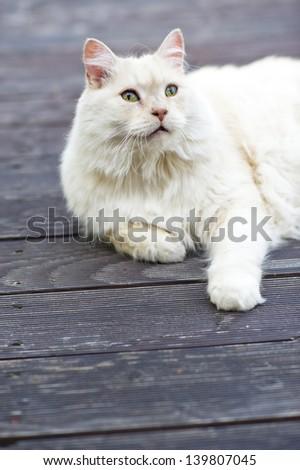 White cat lying on terrance. - stock photo
