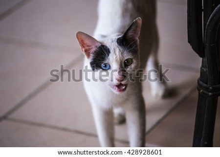 white cat meows. White cat with black ears and eyes of different colors in the background tiles, meows - stock photo