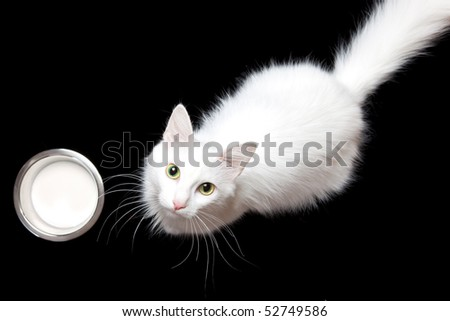 white cat & milk - stock photo