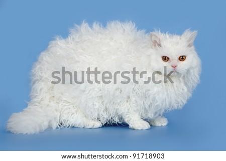 White cat on blue background - stock photo