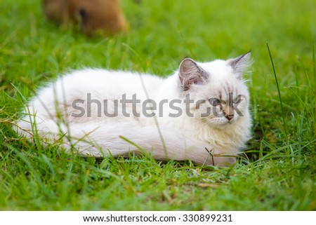 White cat on the green grass.