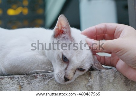 white cat on wall relax with hand scratching head and chin  - soft focus