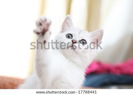 White cat playing. Shallow DOF, focus on eyes. - stock photo