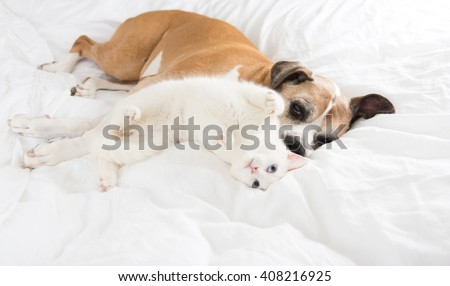 White Cat Playing with Boxer Mix Dog on Bed - stock photo