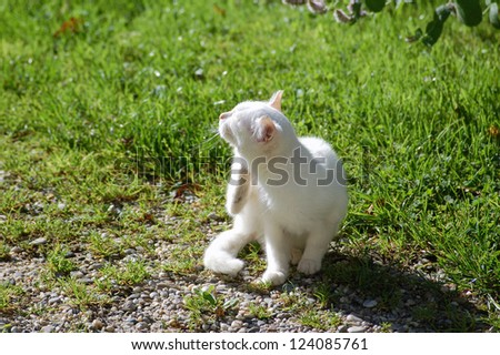 White Cat scratching - stock photo