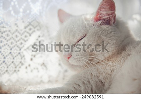 White cat sleeping near lace curtains  - stock photo