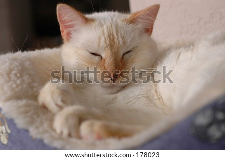 white cat tabby features asllep in bed