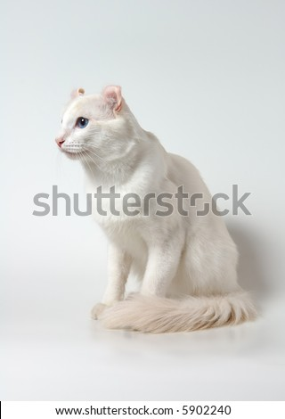 white cat with blue eyes of breed of american curl - stock photo