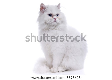White cat with blue eyes. On a white background - stock photo