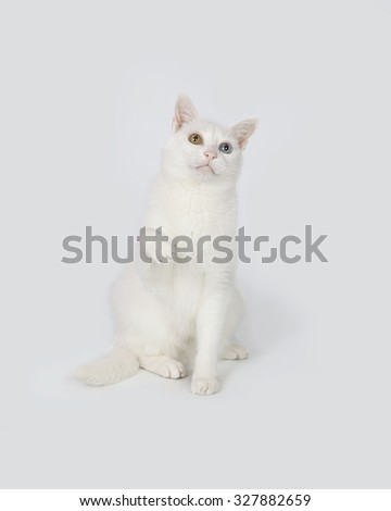 White cat with different color eyes sitting  in studio with white background