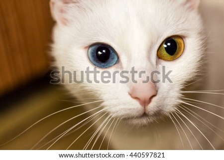white cat with eyes of different colors