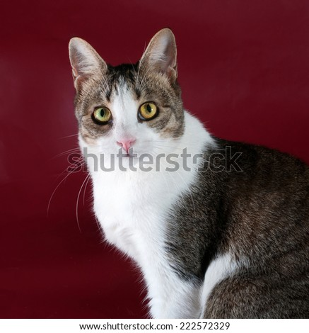 White cat with spots sitting on burgundy background
