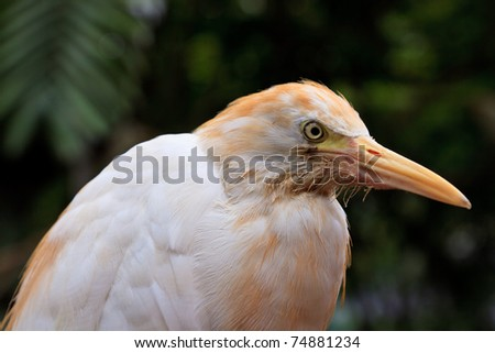 White cattle egret bird in close up in Malaysia