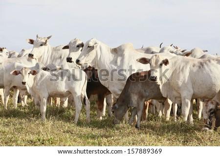 white cattle on farmland, brazil - stock photo