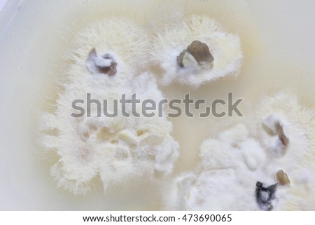 white cell fungus