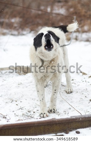 White central asian shepherd dog. Guarding field. Cold winter theme.  - stock photo