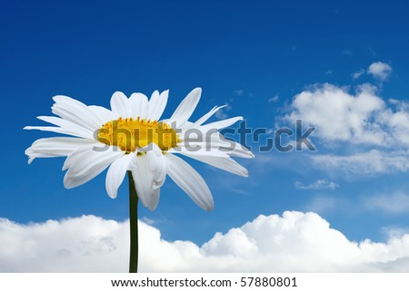 white chamomile and blue sky