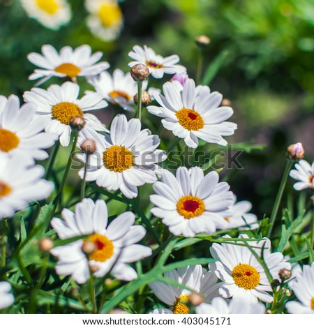 White chamomile flowers growing on summer meadow.