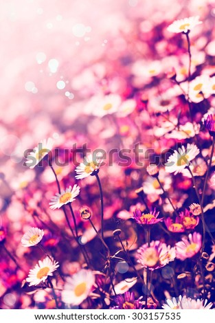 White chamomile flowers in the nature, meadow of flowers, spring floral landscape - stock photo