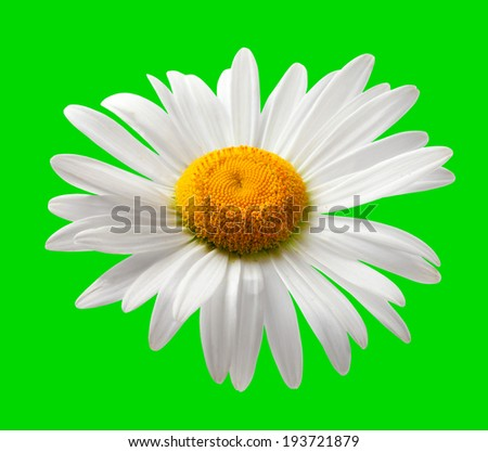 White chamomile isolated on green background - stock photo