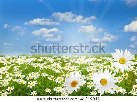 White Chamomile marguerite daisy flowers on the filed - stock photo