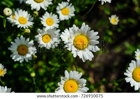 White chamomile (matricaria) blossoming on summer in a park