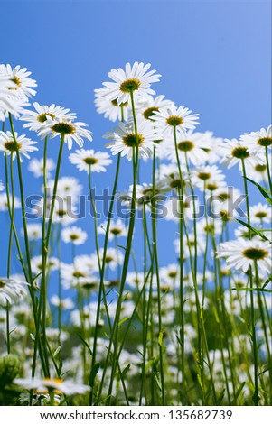 white chamomiles on background of blue sky