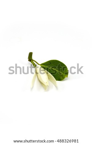 White champaca flower isolated on white background