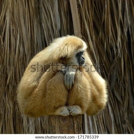 White Cheeked Gibbon at the zoo - stock photo
