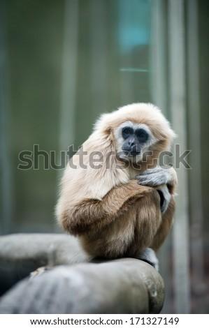 White Cheeked Gibbon or Lar Gibbon at Chester Zoo, England, UK. - stock photo