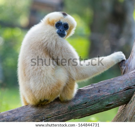 White Cheeked Gibbon or Lar Gibbon looking camera in the zoo - stock photo