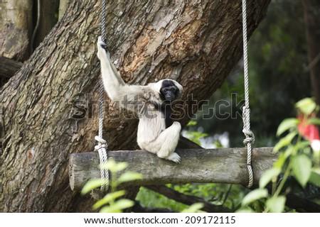 White Cheeked Gibbon or Lar Gibbon on the tree  - stock photo