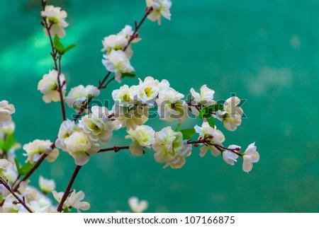 White Cherry Blossom - stock photo