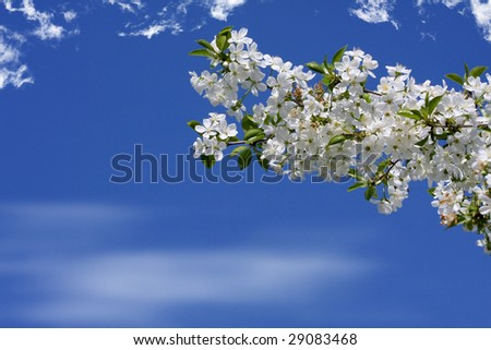 White cherry blossoms at beautiful day - stock photo