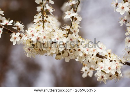 White cherry blossoms in early may - stock photo