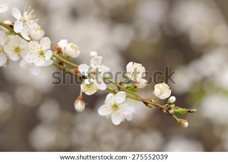 White cherry blossoms on diagonal branch copyspace - stock photo