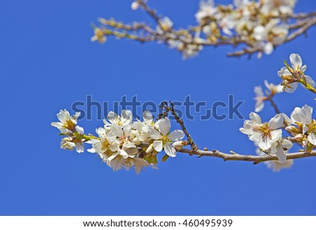 White cherry tree detail at spring